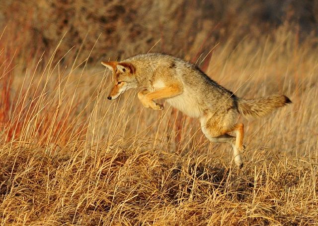 la historia del coyote cojo